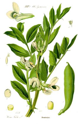 1200px-Illustration_Vicia_faba1