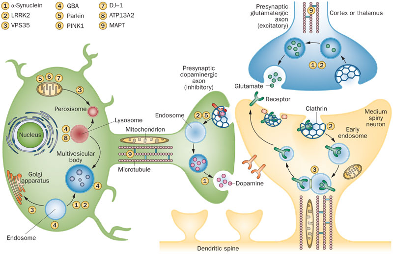 Figure-1-Key-molecular-processes-implicated-in-parkinsonism-by-genetic-findings-and.png