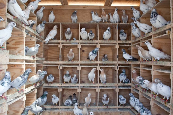 2ad5ea12504299d71e5bdd0b13488a09--pigeon-nest-pigeon-cage