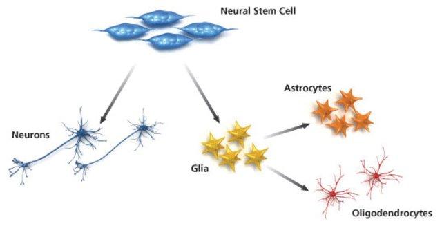 neural-stem-cells_548-large