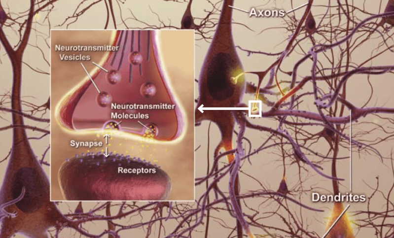 Neurons-axons-dendrites-synapses